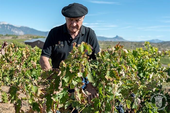 Isidoro Valdelana vendimia en un viñedo singular de Rioja Alavesa