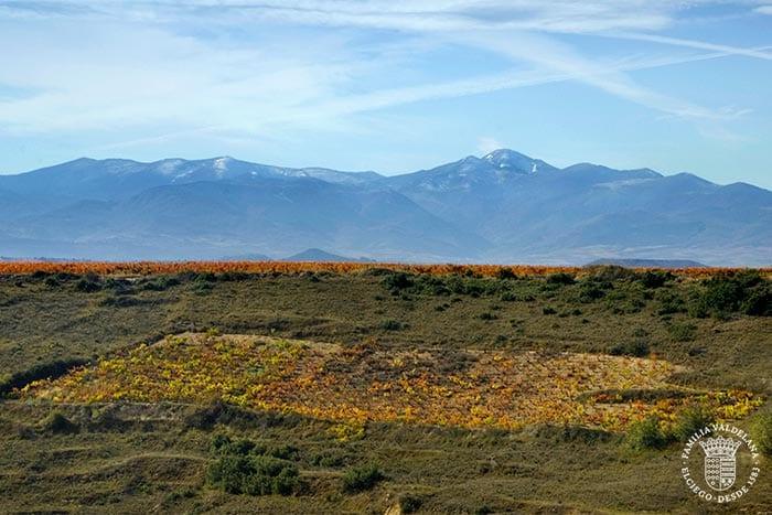 Una viña de Centvm Vitis de la distancia, un viñedo que sobrevivió a la filoxera (Rioja Alavesa)