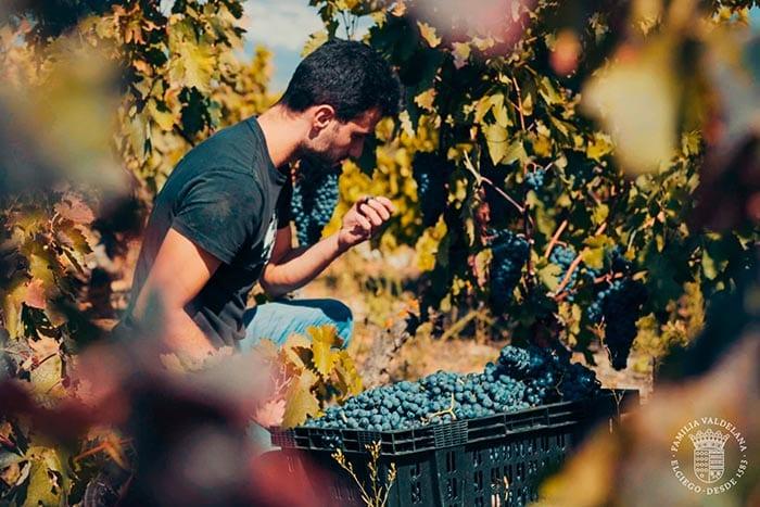 Juan cogiendo uvas para preparar el vino maceración carbónica de Bodegas Valdelana