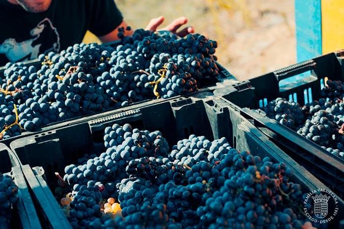 Recogido de uva tempranillo para elaborar vinos de maceración carbónica en Bodegas Valdelana