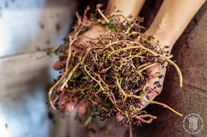 Despalillado de uvas durante la elaboración del vino en Bodegas Valdelana (Elciego, Rioja Alavesa)